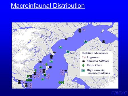 Macroinfaunal Distribution. Relationships Among Burrowing Organisms in Mud Flats.
