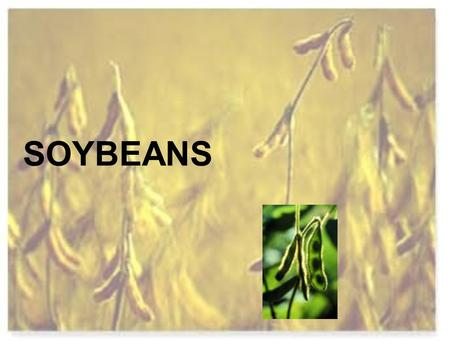 SOYBEANS. Soybeans were domesticated in China High in protein 38 % protein.