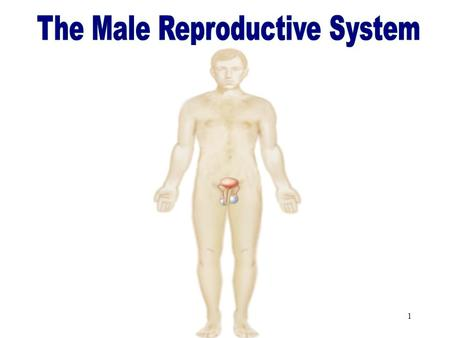 1 The Male Reproductive System 2 Objectives After studying this chapter, you will be able to: Name the parts of the male reproductive system and discuss.