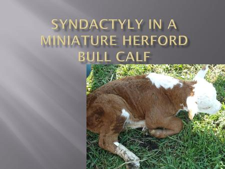  Calf born on Friday evening, posterior presentation, pulled with chains (2 men pulling)  Dam: retained fetal membranes, mild fever.  Calf: unable.