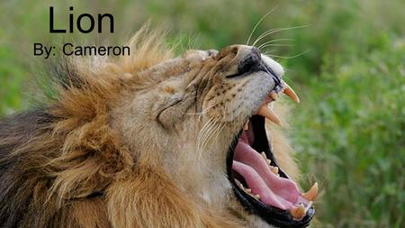 Lion By: Cameron.