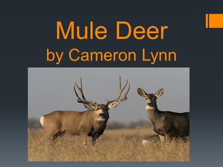 Mule Deer by Cameron Lynn. Description: Soft brown, tan or reddish fur Black forehead with white tail and black tip Ears are six inches off their head.