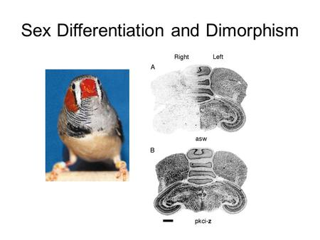 Sex Differentiation and Dimorphism