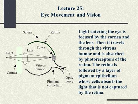 Light Cornea Sclera Optic nerve Lens Vitreus humor Pigment epithelium Fovea Retina Light entering the eye is focused by the cornea and the lens. Then it.