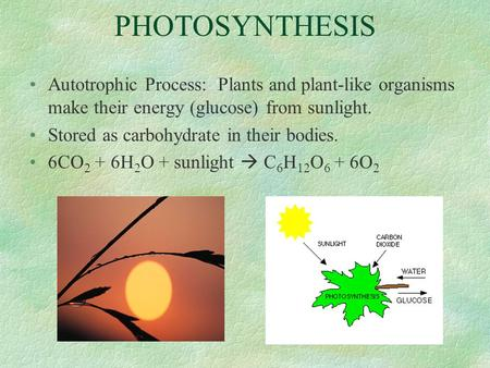PHOTOSYNTHESIS Autotrophic Process: Plants and plant-like organisms make their energy (glucose) from sunlight. Stored as carbohydrate in their bodies.