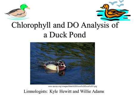 Chlorophyll and DO Analysis of a Duck Pond Limnologists: Kyle Hewitt and Willie Adams www.spcnp.org/ images/Male%20Wood%20Duck%201.jpg.
