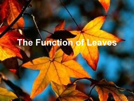 The Function of Leaves. Leaf Types and Patterns Five different types of leaf patterns –Needlelike or scalelike –Opposite compound leaves –Opposite simple.