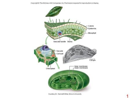 Copyright © The McGraw-Hill Companies, Inc. Permission required for reproduction or display. Vascular bundleStoma Cuticle Epidermis Mesophyll Chloroplast.