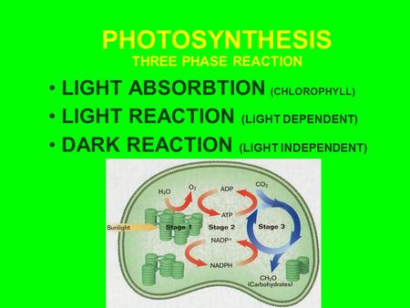 PHOTOSYNTHESIS THREE PHASE REACTION LIGHT ABSORBTION (CHLOROPHYLL) LIGHT REACTION (LIGHT DEPENDENT) DARK REACTION (LIGHT INDEPENDENT)