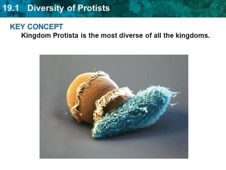 KEY CONCEPT  Kingdom Protista is the most diverse of all the kingdoms.