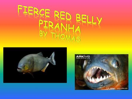 Have you seen a red bellied piranha? I will tell you about a piranha in this report. In this report I will tell you about a red bellied piranha. I will.
