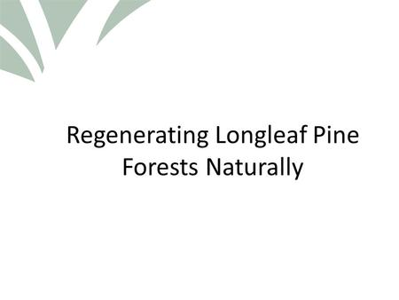 Click to edit Master title style Regenerating Longleaf Pine Forests Naturally.