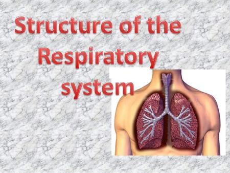 Respiratory System: Intakes oxygen Releases carbon dioxide waste Circulatory system: Transports gases in blood between lungs and cells Respiratory System: