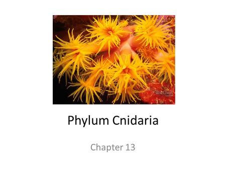 Phylum Cnidaria Chapter 13. Characteristics of Phylum Cnidaria Cnidocytes present that house stinging organelles called nematocysts Entirely aquatic (mostly.