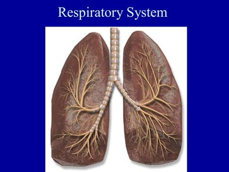 Respiratory System. Function: exchange gases between blood (body) and the environment O 2 in CO 2 out Respiratory System.