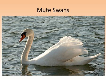 Mute Swans. Invasive Species Obligations ORC OAC Charges SP and DOW to manage in the best interest of the natural resources on the lands we own and manage.