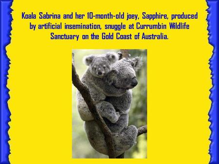 Koala Sabrina and her 10-month-old joey, Sapphire, produced by artificial insemination, snuggle at Currumbin Wildlife Sanctuary on the Gold Coast of Australia.