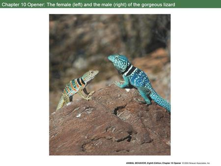 Chapter 10 Opener: The female (left) and the male (right) of the gorgeous lizard.
