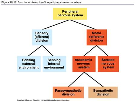 Figure 48.17 Functional hierarchy of the peripheral nervous system.