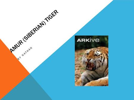 AMUR (SIBERIAN) TIGER BY NATHAN. HABITAT Tropical forest Grass jungle Woodlands Swamps Thorn forest.