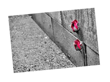 The Rose that Grew From Concrete By … Did you hear about the rose that grew from a crack in the concrete? Proving nature's law is wrong it learned to.