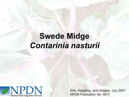 Swede Midge Contarinia nasturii Ellis, Hoepting, and Hodges. July 2007. NPDN Publication No. 0017.
