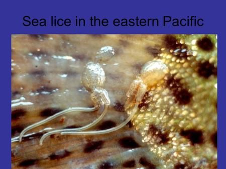 Sea lice in the eastern Pacific. There are two species of sea lice commonly found on farmed and wild salmonids in B.C. Gravid Lepeophtheirus salmonis.