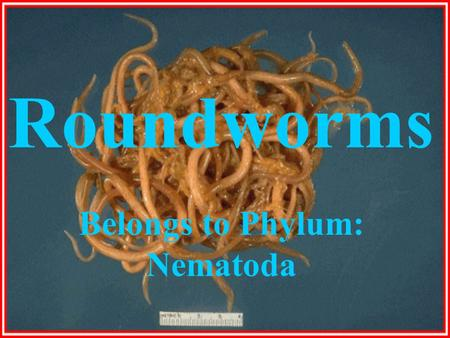 Belongs to Phylum: Nematoda
