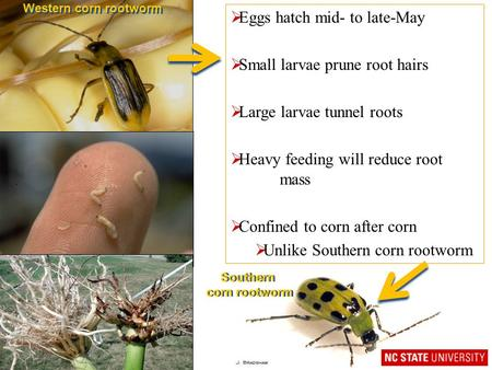 Western corn rootworm  Eggs hatch mid- to late-May  Small larvae prune root hairs  Large larvae tunnel roots  Heavy feeding will reduce root mass 