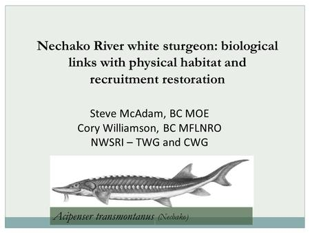1 Nechako River white sturgeon: biological links with physical habitat and recruitment restoration Steve McAdam, BC MOE Cory Williamson, BC MFLNRO NWSRI.