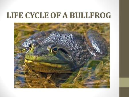 LIFE CYCLE OF A BULLFROG. Five Life Cycles 1.Eggs- The female frog lays masses of eggs in the water. The tiny eggs hatch into tadpoles. 2.Tadpole- Tadpoles.