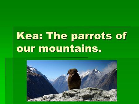 Kea: The parrots of our mountains.. Where they live.  Kea only live in the mountain's of the South Island of New Zealand.  That make's it native to.