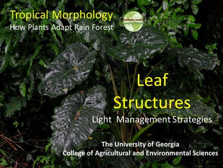 Tropical Morphology How Plants Adapt Rain Forest The University of Georgia College of Agricultural and Environmental Sciences Leaf Structures Light Management.
