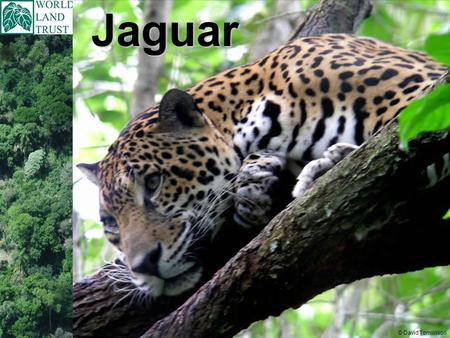Jaguar © David Tomlinson. Jaguar Scientific name Panthera onca In these countries: Mexico down through Guatemala, Belize, Honduras, Nicaragua, Costa Rica,