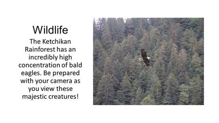 Wildlife The Ketchikan Rainforest has an incredibly high concentration of bald eagles. Be prepared with your camera as you view these majestic creatures!
