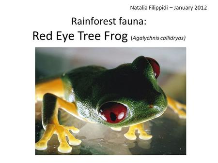 Rainforest fauna: Red Eye Tree Frog (Agalychnis callidryas) Natalia Filippidi – January 2012.