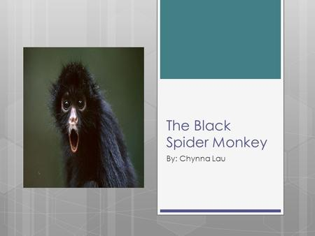 The Black Spider Monkey By: Chynna Lau. Information:  Scientific Name: Anteles paniscus  Height: 16-24 inches  Weight: 15-19 pounds  Habitat: tropical.
