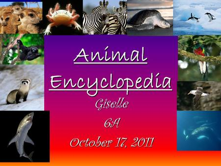 Animal Encyclopedia Giselle6A October 17, 2011. Table of Contents Mexican Axolotl Zebra Olive Ridley Sea TurtleOlive Ridley Sea Turtle Gentoo Penguin.