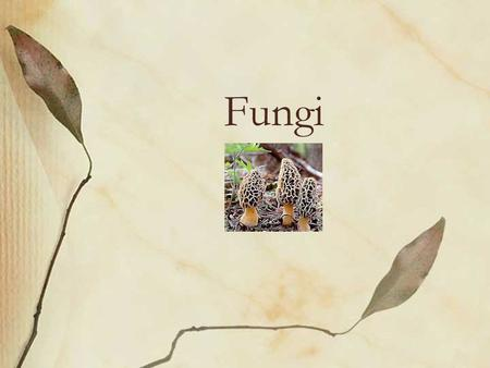 Fungi. Fleshy fungi Yeasts Molds –Hyphae (long filaments of joined cells) –Mycelium (intertwined mass of hyphae)