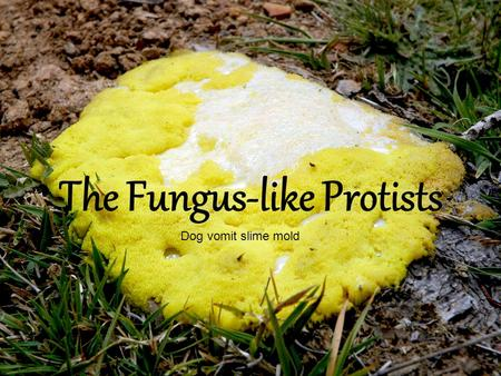 The Fungus-like Protists Dog vomit slime mold. Characteristics The Fungus-like protists are heterotrophs that absorb nutrients from dead or decaying matter.