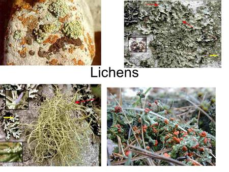Lichens. Lichen An association of a fungus and a photosynthetic symbiont resulting in a stable vegetative body having a specific structure Unique entity.