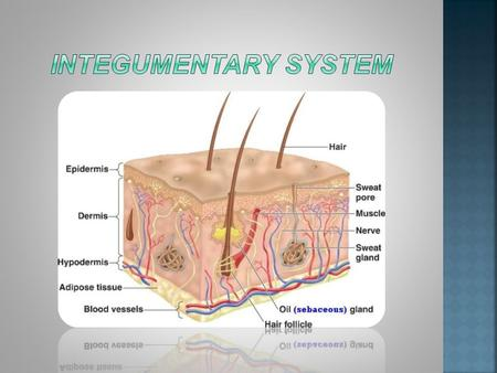 The integumentary system is an organ system consisting of your skin, hair, nails, and endocrine glands. Your skin is only a few millimeters thick, but.