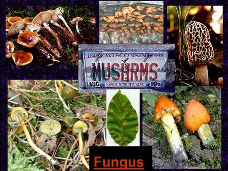 Fungus. Fungi Eukaryotic organisms that contain nuclei and mitochondria, depend on other organism for nutrition (heterotrophs) and are non motile. Many.