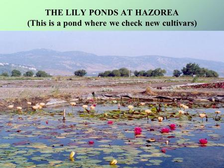 THE LILY PONDS AT HAZOREA (This is a pond where we check new cultivars)