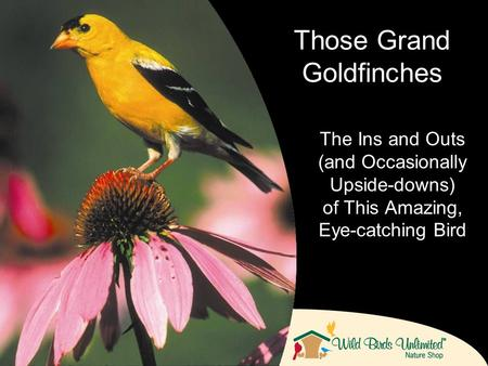 The Ins and Outs (and Occasionally Upside-downs) of This Amazing, Eye-catching Bird Those Grand Goldfinches.