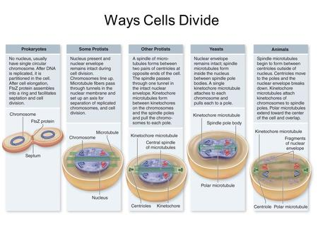 Ways Cells Divide.