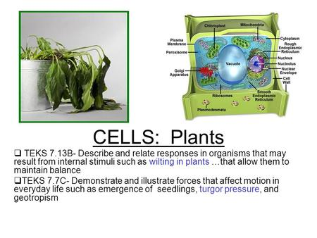 CELLS: Plants  TEKS 7.13B- Describe and relate responses in organisms that may result from internal stimuli such as wilting in plants …that allow them.