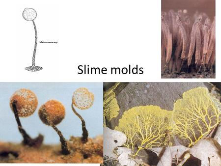 Slime molds. Five phyla of organisms (we will discuss two) that are not in the Kingdom Fungi, but Kingdom Protoctista Vegetative thallus – – lacks a cell.