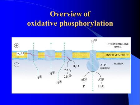 Overview of oxidative phosphorylation