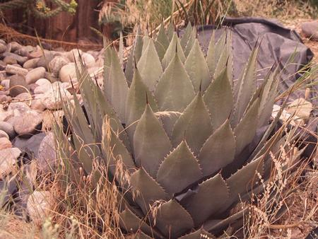 Desert Agave Agave deserti Desert mountains— Agave is found in the high mountains of the Chihuahuan desert in Mexico and the southern US.